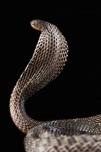 Close-up of a cobra : Stock Photo