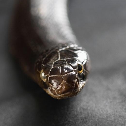 Stock Photo: 1657R-20639 Close-up of a cobra