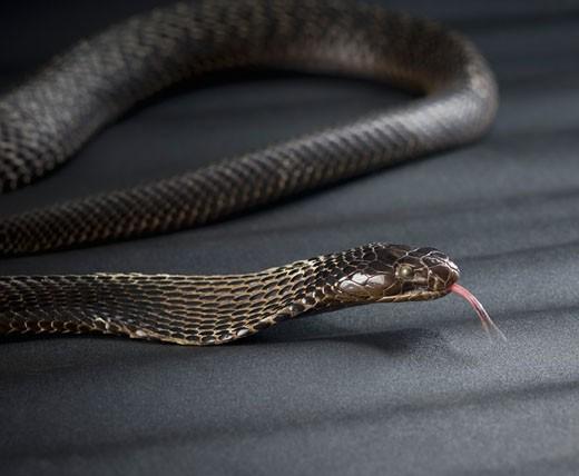 Stock Photo: 1657R-20643 Close-up of a cobra