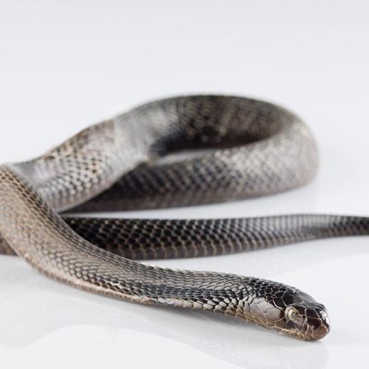 Stock Photo: 1657R-20648 Close-up of a cobra