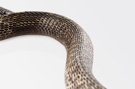 Close-up of a cobra changing its skin : Stock Photo