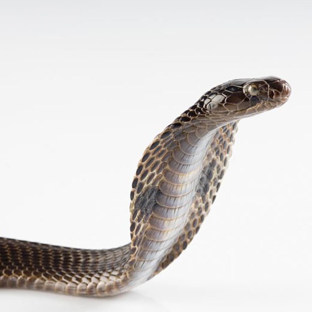 Stock Photo: 1657R-20657 Close-up of a cobra