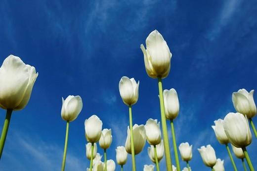 Low angle view of tulips, Tulip Garden, Srinagar, Jammu and Kashmir, India : Stock Photo