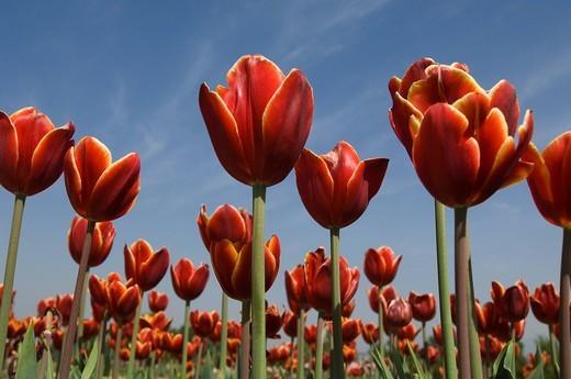 Tulips in a field, Tulip Garden, Srinagar, Jammu and Kashmir, India : Stock Photo