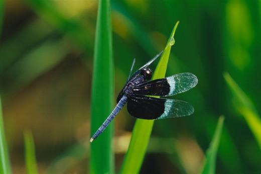 Stock Photo: 1657R-37764 Close_up of a dragonfly, Ranganthittu Bird Sanctuary, Mandya, Karnataka, India