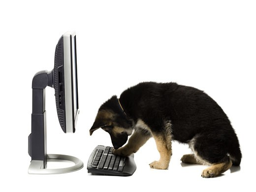 German Shepherd puppy typing : Stock Photo