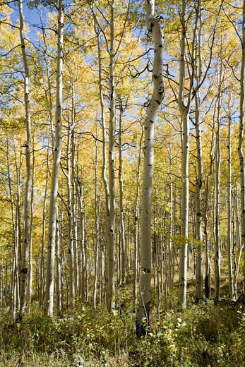 Stock Photo: 1660R-22244 grove of trees.