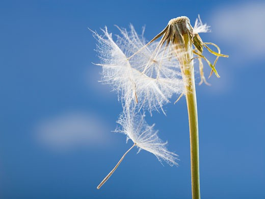 Stock Photo: 1660R-25479 Dandelion seed and stem with blue sky