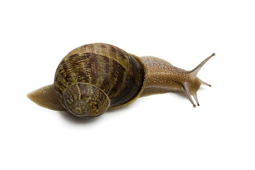 Stock Photo: 1660R-26802 Close-up of a snail on a white background