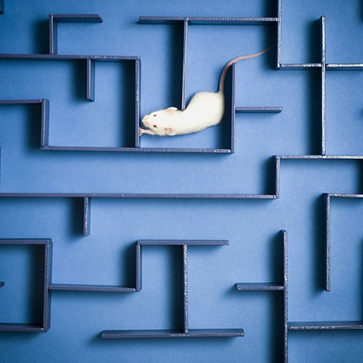 Stock Photo: 1660R-27653 Close-up of a mouse in a maze