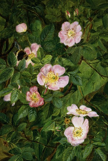 Stock Photo: 1661-361 Wild Roses Maria Dorothea Krabbe (1837-1918)