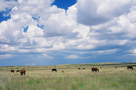 Stock Photo: 1663R-10897 Horses grazing in a field, Texas, USA