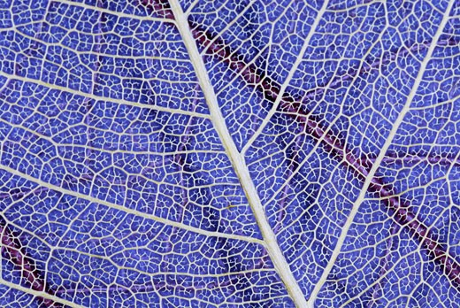 Close-up of a translucent leaf : Stock Photo