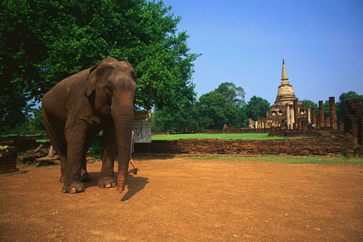Elephant standing in a garden with a temple in the background, Amphoe Si Satchanalai, Sukhothai, Thailand : Stock Photo