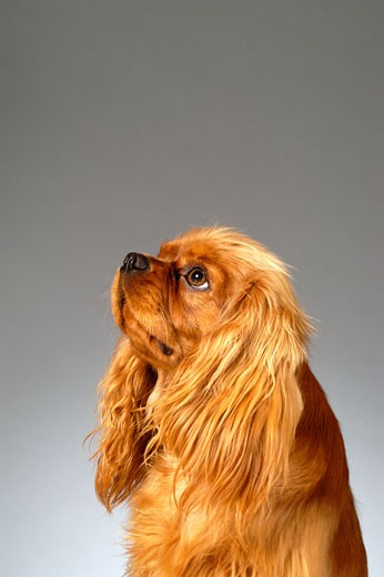Side profile of a Cocker Spaniel : Stock Photo