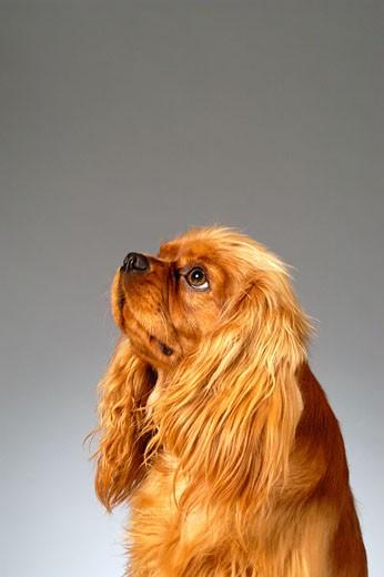 Stock Photo: 1663R-20075 Side profile of a Cocker Spaniel