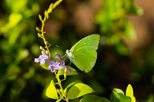 Close-up of a Lyside Sulphur (Kricogonia lyside) butterfly pollinating a flower : Stock Photo