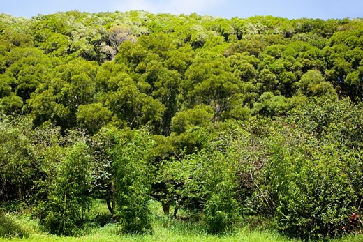 Stock Photo: 1663R-22893 Trees in a forest, Twin Falls, Maui, Hawaii Islands, USA