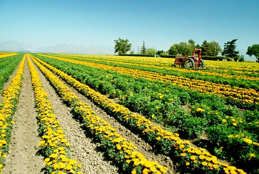 Field of yellow flowers grown for commercial use & clear blue sky in the background, California : Stock Photo