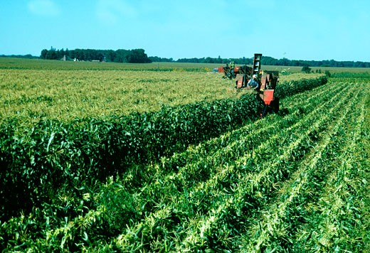 Stock Photo: 1663R-22952 Farmers Picking sweet corn in the field, Minnesota