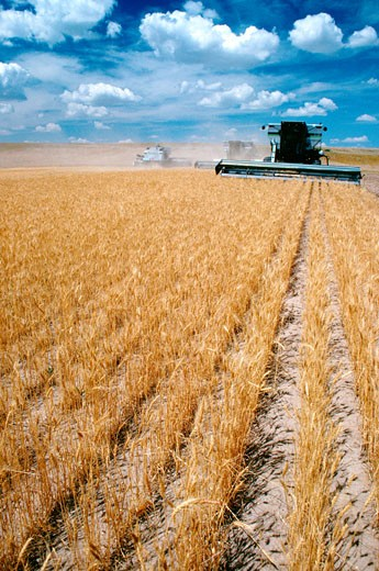 Stock Photo: 1663R-22972 Custom harvest combines harvest wheat with clear blue sky in the background near Cheyenne, WY