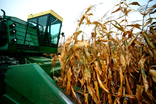 Stock Photo: 1663R-22986 Closeup of combine cutting thru corn on Henry farm in Clinton county, OH