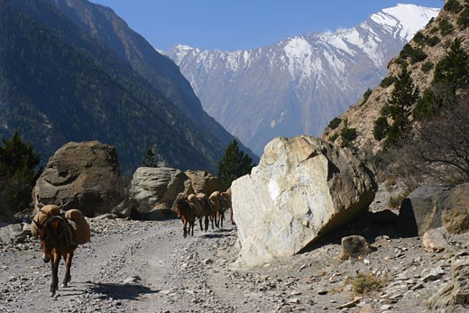 Stock Photo: 1663R-30832 Four mules carrying luggage, Annapurna Range, Himalayas, Nepal