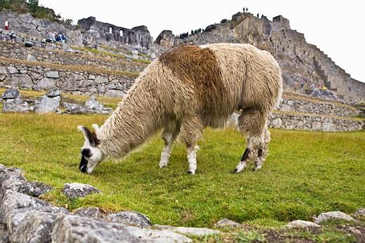 Llama (Lama glama) grazing near old ruins of buildings, Machu Picchu, Cusco Region, Peru : Stock Photo