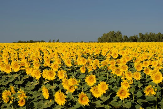 Panoramic view of a sunflower field : Stock Photo