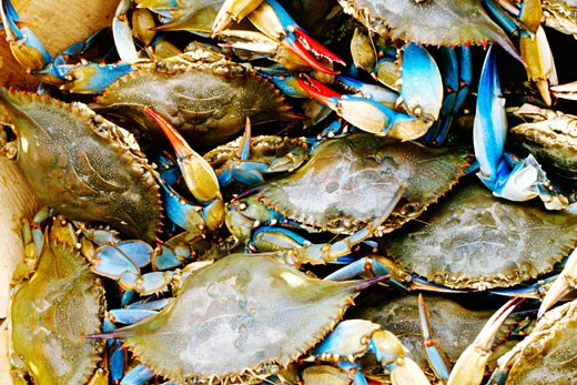 Stock Photo: 1663R-35435 Close-up of a heap of crabs, Annapolis, Maryland, USA