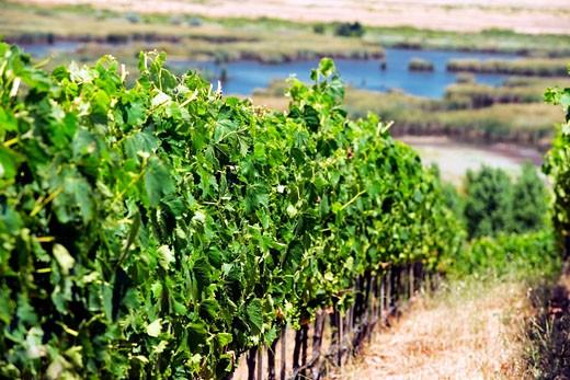 Stock Photo: 1663R-38793 Panoramic view of a vineyard, Napa Valley, California, USA