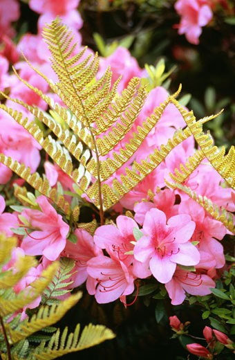 Stock Photo: 1663R-49733 Close-up of flowers, Fern and Azaleas, Nijo Castle, Kyoto, Japan