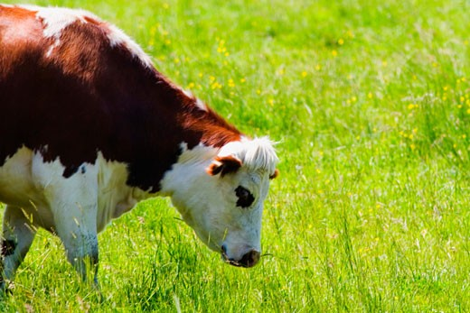 Stock Photo: 1663R-54167 Cow grazing in a field, Loire Valley, France
