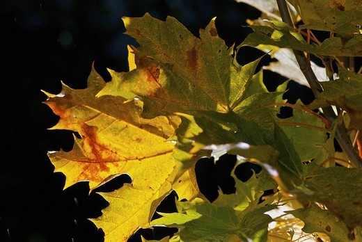 Stock Photo: 1663R-66262 Close_up of maple leaves