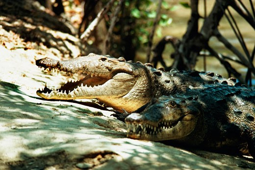 Stock Photo: 1663R-9460 An openmouthed crocodile is seen at a crocodile farm, Jamaica