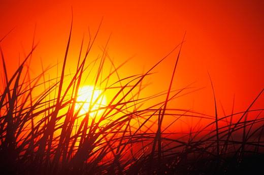 Silhouette of tall grass at dusk, Cape Cod, Massachusetts, USA : Stock Photo