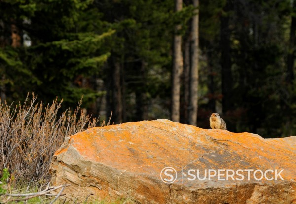Stock Photo: 1669-33062 coloumbian ground squirrel at banff national park
