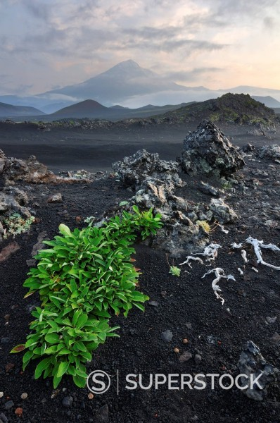 plant growing on lava field in Tolbachik volcano area on Kamchatka : Stock Photo
