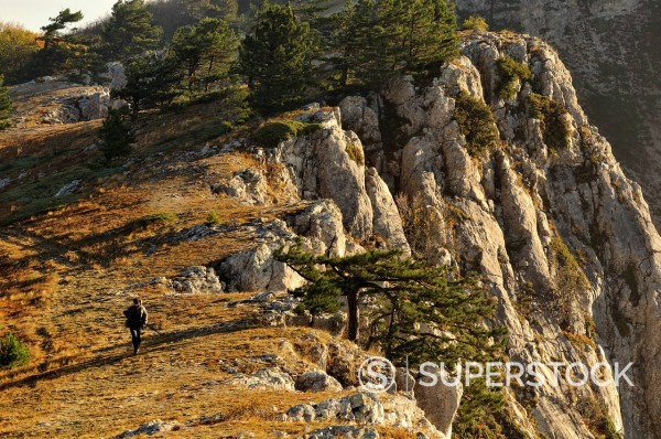 lonely juniper tree near Novyi Svet village on Crimea in Ukraine : Stock Photo