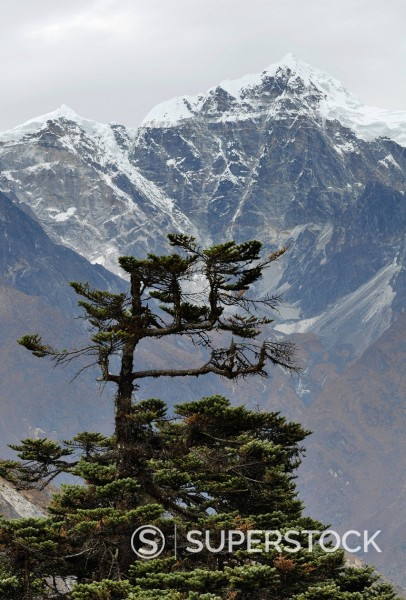 Stock Photo: 1669-33270 tree in front of Cholatse and Taboche mountain in Nepal