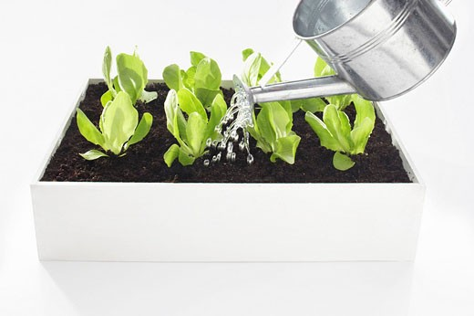 lettuce seedlings in flower box being watered : Stock Photo