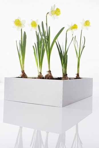Stock Photo: 1669R-10887 daffodils in flower box