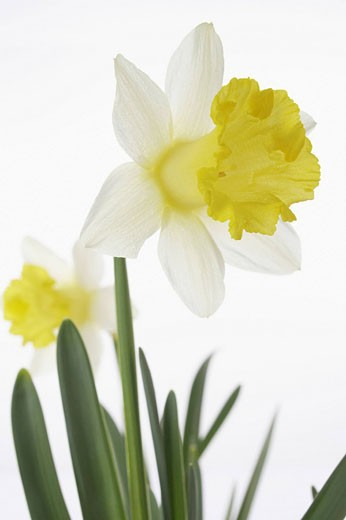 close_up of yellow daffodil blossom : Stock Photo