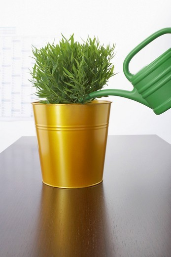 plant in goden bucket and watering can on table : Stock Photo