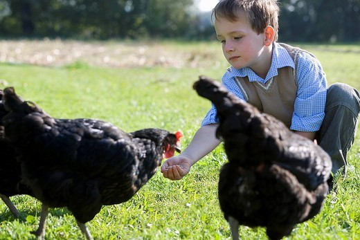 young boy feeding chicken : Stock Photo