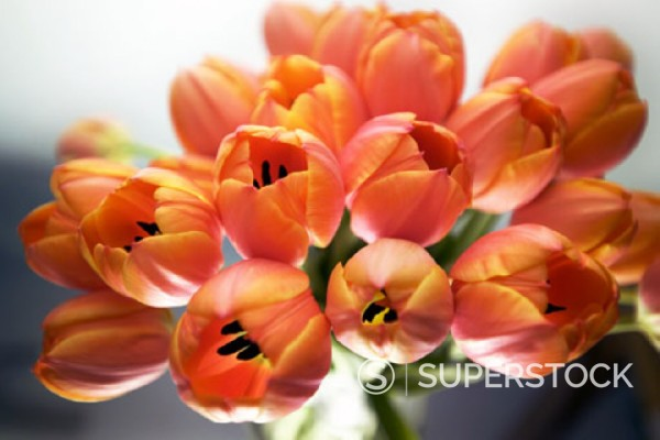 Stock Photo: 1669R-2894 close-up of red tulips