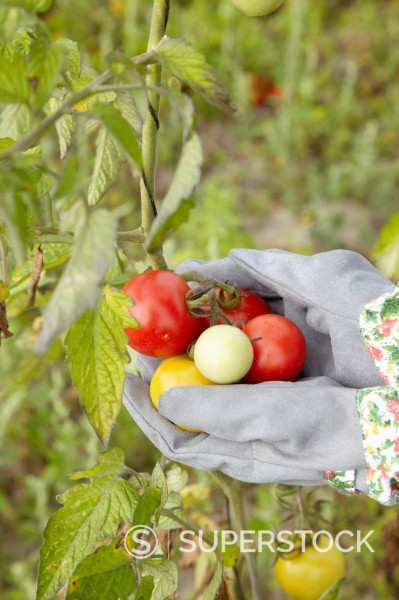 detail of woman harvesting tomatoes : Stock Photo