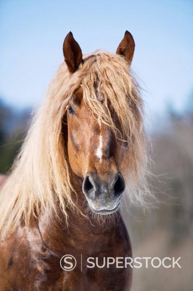 Stock Photo: 1669R-32724 portrait of brown stallion