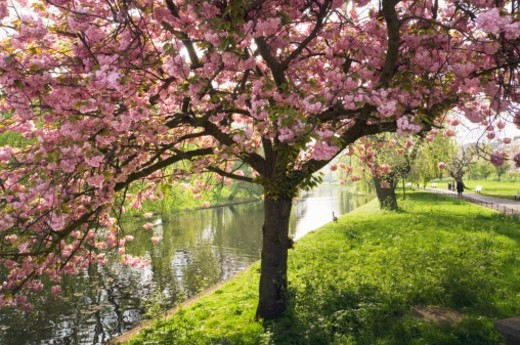 Cherry blossom (Prunus sp.) in spring, Regent's Park, London, England : Stock Photo