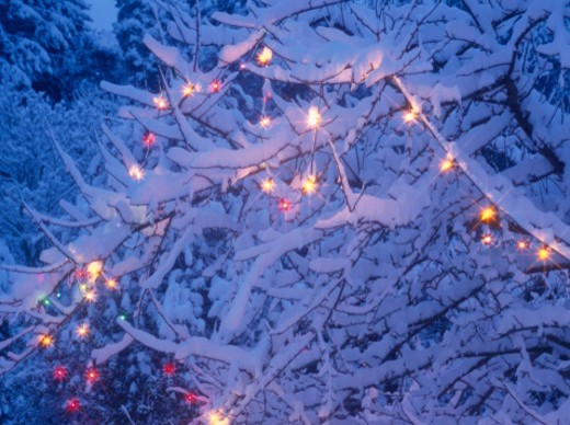 Christmas lights on snow-covered holly (Ilex sp.), close-up, dusk : Stock Photo